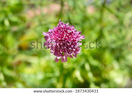 Pincushion flower Beaujolais Bonnets - Latin name - Scabiosa atropurpurea Beaujolais Bonnets Royalty-Free Stock Photo #1873430431