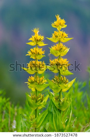 Great Yellow Gentian (Gentiana lutea) in Col de la Cayolle mountain pass of Ubaye Valley in Alps Haute Provence of Provence region of France, Europe Royalty-Free Stock Photo #1873527478