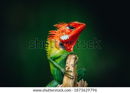 Common Green forest lizard chilling in the wooden pole, it has gradient of saturated vivid colorful skin and orange head, look so proud. Royalty-Free Stock Photo #1873629796