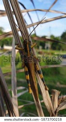 """Close up picture of """"grasshopper turmeric"""" or Valanga nigricornis in between leaves. Macro grasshopper"""