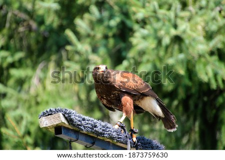 A picture of a Harris's hawk perching on the stud.