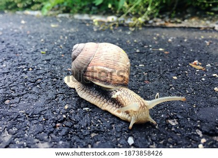 Small garden snail in shell crawling on wet road, slug hurry home. Snail slug consist of edible tasty food coiled shell to protect body. Natural animal snail in shell slug crawling in big wild nature. Royalty-Free Stock Photo #1873858426