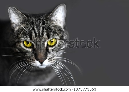Portrait of a Gray cat with illuminating yellow eyes on a Ultimate Grey background. copy space. Trendy colors of the 2021 year.