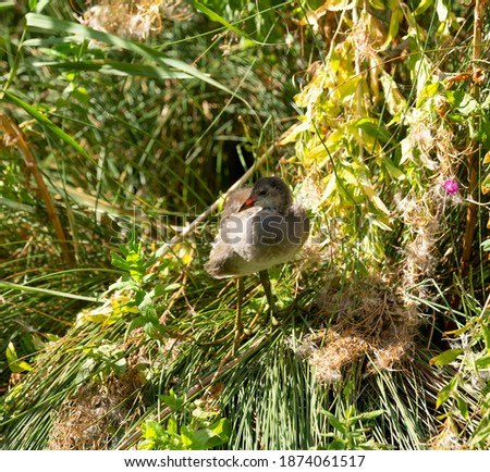 Juvenile moorhen standing on a mound of grass and reeds. Royalty-Free Stock Photo #1874061517
