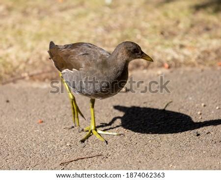 Juvenile moorhen walking across a path and looking to the right. Royalty-Free Stock Photo #1874062363