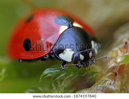 Close-up of a ladybug on green moss. Macro photograph. Green grass. Morning dew. Royalty-Free Stock Photo #1874197840