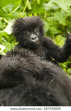 Mountain Gorilla, Gorilla gorilla beringei, Sabyinyo Group, Volcanoes National Park, Rwanda, baby riding on mothers back #187430009