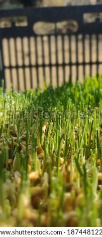 Nutritious hydroponic barley fodder. Barley germinated seed Royalty-Free Stock Photo #1874481223