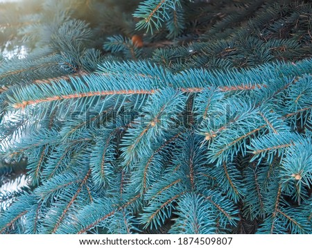 Branches of blue spruce with needles in the sunset light. Fir branch in the rays of the sun. The blue spruce, Colorado spruce, or Colorado blue spruce, with the Latin name Picea pungens. Royalty-Free Stock Photo #1874509807