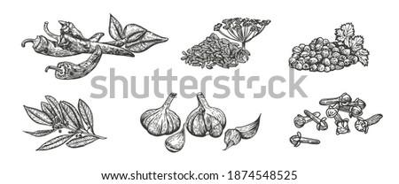 Vector sketch illustration of spices. Hand drawn kitchen herbs: chili, fennel, coriander, bay leaf, garlic, clove Royalty-Free Stock Photo #1874548525