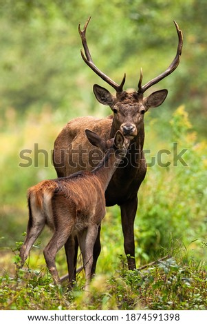 Two red deer, cervus elaphus, smelling in forest in summertime nature. Antlered stag and hind kissing in woodland. Wild mammals couple standing in green environment. Royalty-Free Stock Photo #1874591398