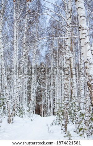Winter birch snow forest with small fir trees, pines and snowdrifts on a Sunny day. The photo was taken with selective focus