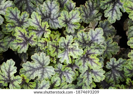 """Silvery green leaf with brown veins of a perennial herb ornamental plant Heucherella """"Tapestry"""" Photo for the catalog of plants of the garden center or plant nursery. Sale of green space. Close-up #1874693209"""