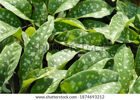 """Green leaves with white dots and fluff. Perennial herb ornamental plant Pulmonaria """"Trevi Fountain"""". Photo for the catalog of plants of the garden center or plant nursery. Sale of green space.  #1874693212"""
