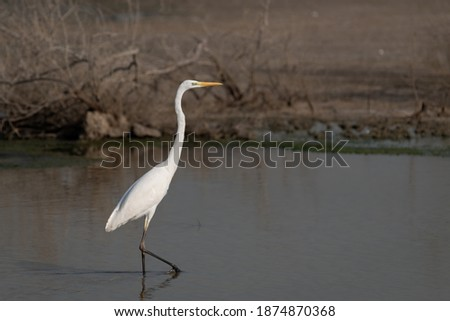 A beautiful lone Great Egret (Ardea alba), also known as the Common Egret, Large Egret, Great White Egret or Great White Heron, as seen in the shallow waters at the Ras Al Khor wildlife sanctuary. Royalty-Free Stock Photo #1874870368