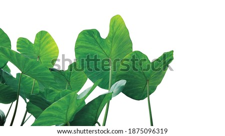 Tropical leaves pattern foliage plant bush of Elephant ear or taro (Colocasia sp.) nature frame layout on white background, tropical summer houseplant and forest concepts. Royalty-Free Stock Photo #1875096319