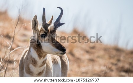 pronghorn antelope grazing in grasslands Royalty-Free Stock Photo #1875126937