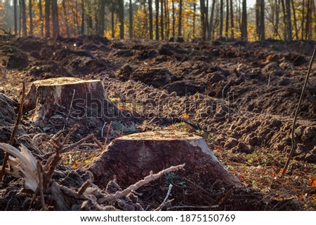 Forest destruction. Two stumps after deforestation against the backdrop of the forest, small depth of focus. Royalty-Free Stock Photo #1875150769
