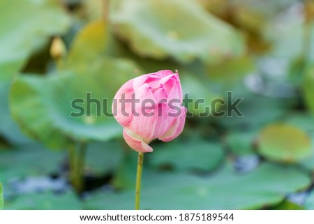 Pink lotus flower in natural pond picture