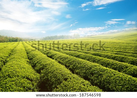 Beautiful pattern of bright, green tea garden on the hill #187546598
