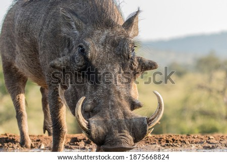 A low angle photo of a male warthog drinking at a waterhole. big warts and tusks. Royalty-Free Stock Photo #1875668824