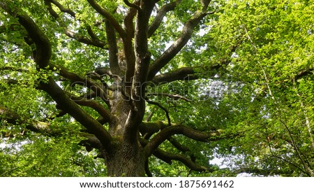 Large remarkable oak in a wild forest in the north of France. View of the crown from below, from the foot of the tree. Trunk, thick branches and foliage. Horizontal photo. Summer light. Royalty-Free Stock Photo #1875691462