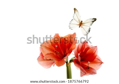 Scarlet amarylis flowers and a butterfly on a white background. free space for your ideas.