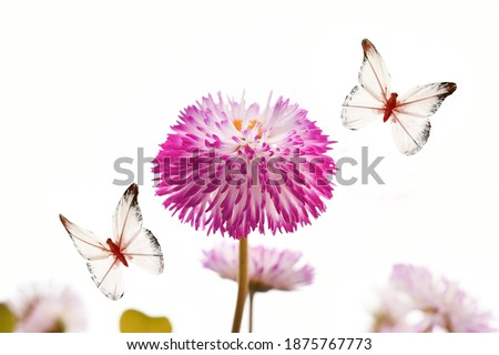 Lush flowers of maragrita and butterflies on a white background. free space for your ideas.