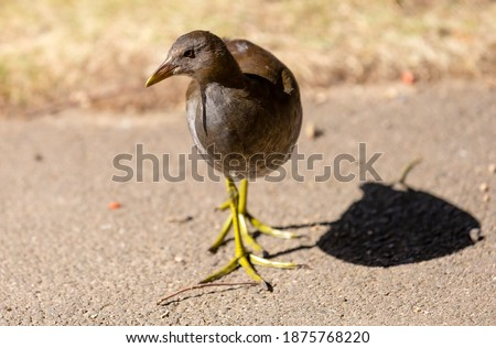 Juvenile moorhen trying to decide which way to go. Royalty-Free Stock Photo #1875768220