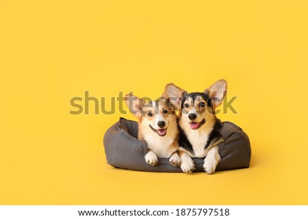 Cute corgi dogs with pet bed on color background Royalty-Free Stock Photo #1875797518
