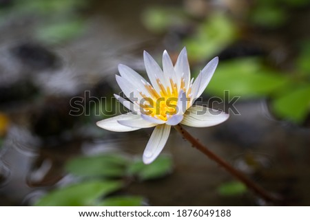 Picture of a lotus flower in Bali Indonesia.