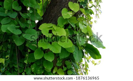 Green variegated leaves Devil's ivy or golden pothos liana plant climbing on jungle tree trunk, tropical forest plant jungle vines bush isolated on white background with clipping path. Royalty-Free Stock Photo #1876136965
