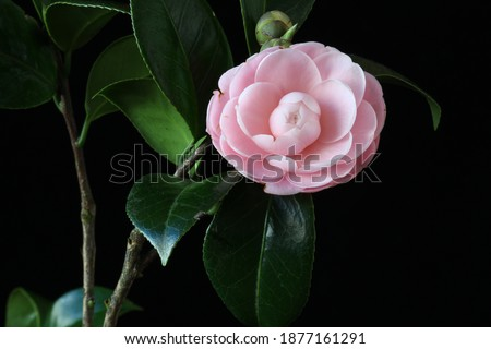 A closeup picture of an isolated pink camellia in front of black background. It's the perfect one picked from a bush.