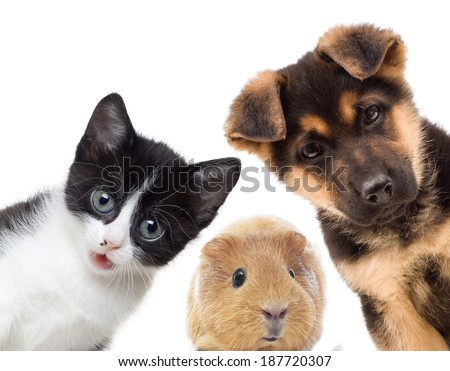 Puppy and kitten and guinea pig  #187720307