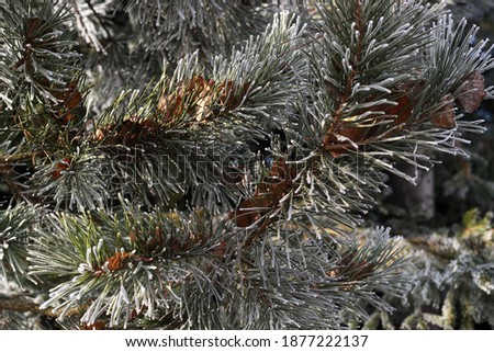 Red leaves on winter conifer tree.