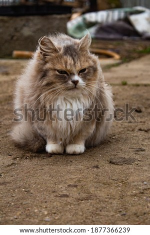 Fluffy grey cat with a stern look outside in the yard in cold weather vertical photo