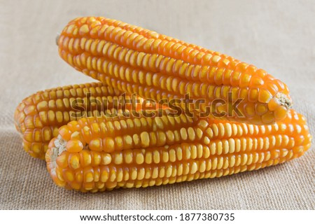 Yellow dried corns texture on sackcloth background. Dry corn seed. Orange corn. Yellow corns. Corn vegetable pattern. Sweet corn. #1877380735