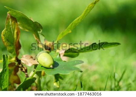 Sunlit green Acorn and Oak leaves.