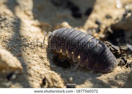 A closeup shot of Maltese wood louse on limestone rock