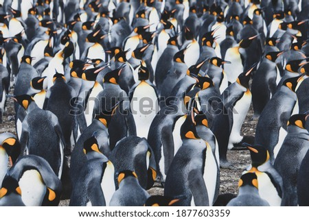King penguin colony on the Volunteer Point in the Falkland Islands