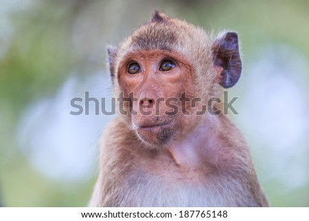 Monkey (crab-eating macaque) Asia Thailand #187765148