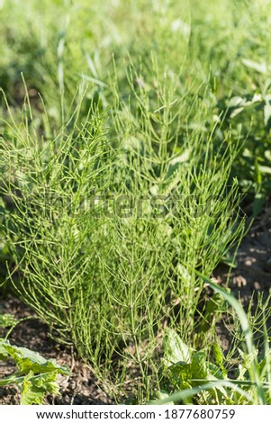 Equisetum arvense, field horsetail or common horsetail in meadow in afternoon in sunny day. Collecting medicinal plants and herbs #1877680759