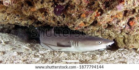 White Tip Reef Shark in a Small Coral Cave on a Tropical Reef Gili Island, Lombok, Indonesia.