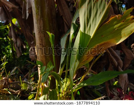 photo of turmeric leaves with banana tree background and in the photo in the afternoon. Turmeric leaves are usually used for cooking spices