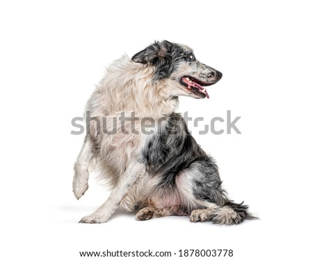 blue eyed blue merle border collie, surprised, looking back, isolated on white