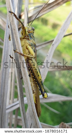 """Close up picture of """" grasshopper turmeric"""" or Valanga nigricornis in between leaves. Macro grasshopper"""