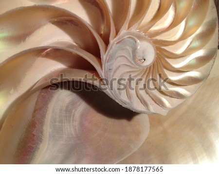 nautilus shell stock Fibonacci pearl  golden ratio number sequence natural background half slice section