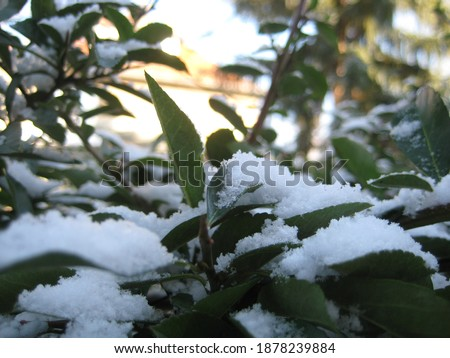 macro photo with a decorative background of green leaves on tree branches with fluffy white snow for design as a source for prints, posters, decor, interiors, wallpaper, advertising