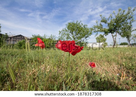 Picture of a red common poppy standing in a field of greend grass. Also called papaver rhoeas, it's a flower of the papaveroideae family.