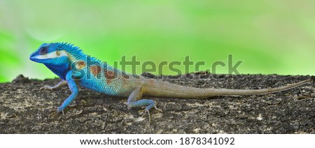 Lizard,dragon , Chameleon , Blue-crested Lizard ,Calotes mystaceus, Indo-Chinese crested blue lizard perching on tree with blur green background Royalty-Free Stock Photo #1878341092